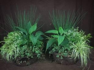 Planted Containers for Shade - Juncus, Euphorbia, Hosta, Pilea