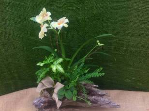 Driftwood Planting with Miltonia Orchid