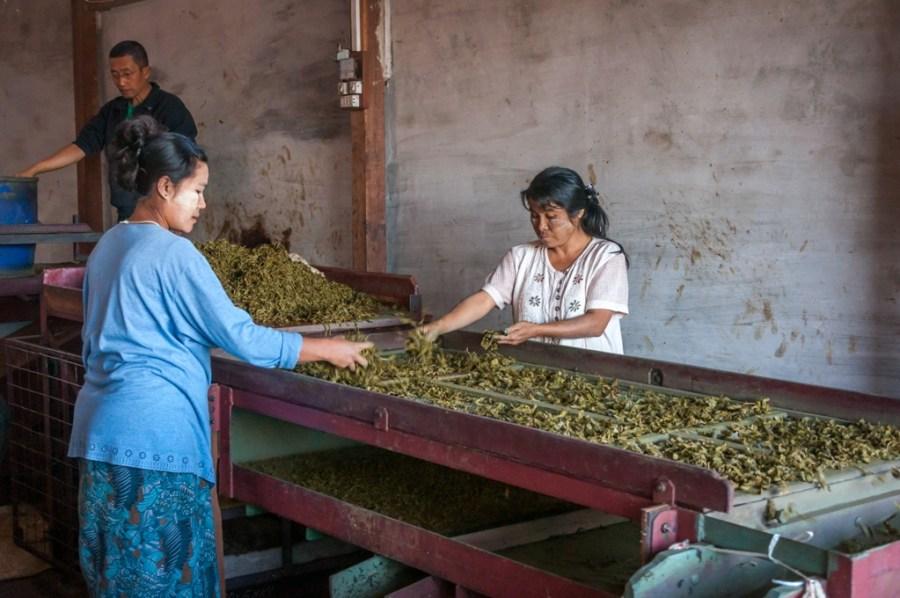Selectia frunzelor de ceai_Myanmar
