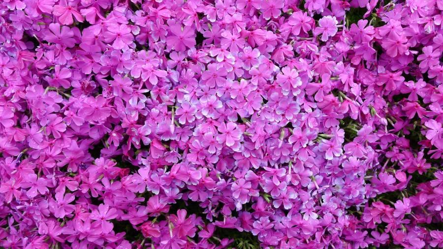 Mii de flori pentru sotia nevazatoare_Japonia (2)