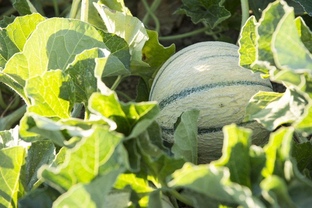 A cantaloupe that's been grown without irrigation.