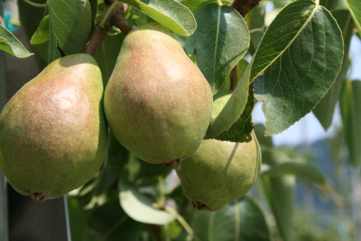 Hood River County leads the nation in pear production. (Photo by Betsy Hartley.)