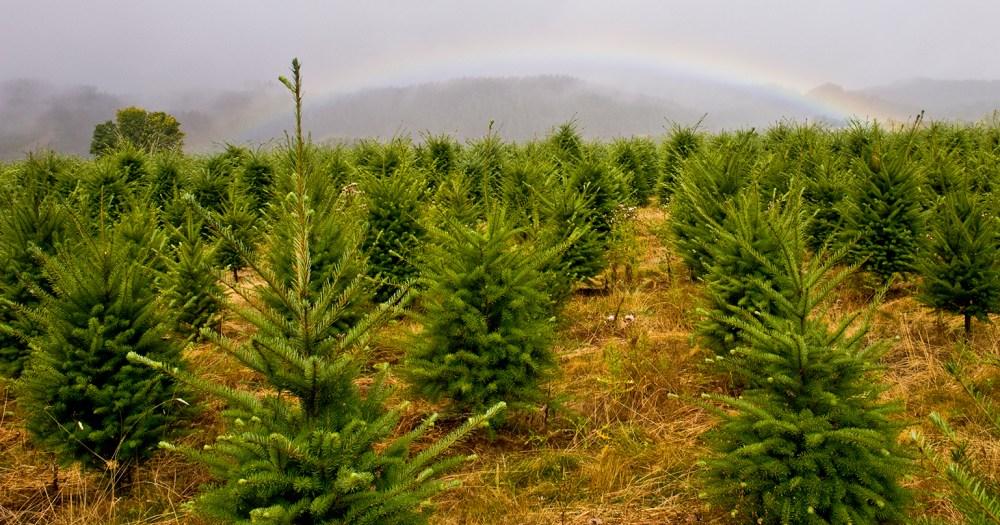douglas fir christmas tree farm