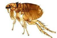 imagen pulga