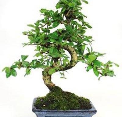 imagen carmona microphylla 6 años