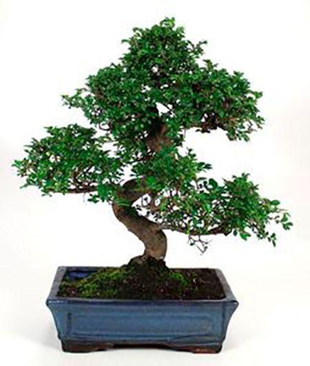 imagen zelkova parvifolia 10 años