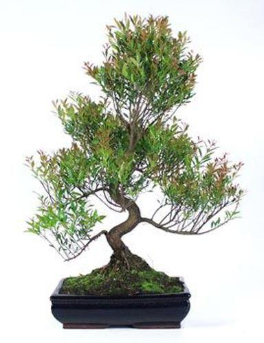 imagen Syzigium Buxifolium 18 años