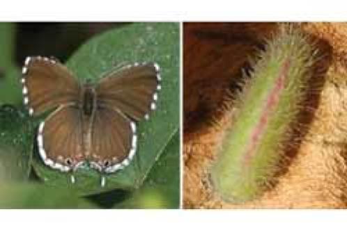 plantas y enfermedades de las plantas mariposa del geranio