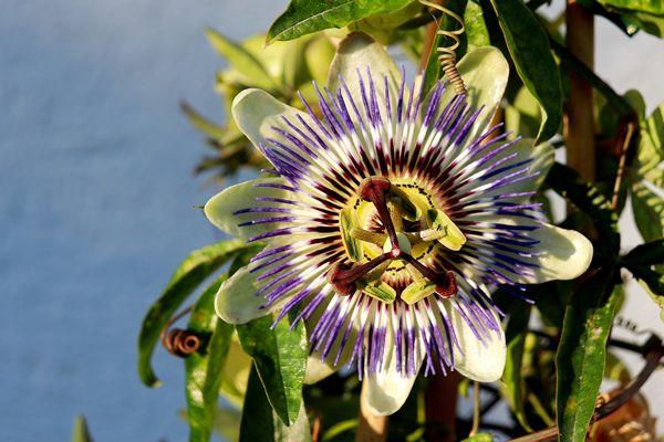 Passiflora- Passiflora edulis
