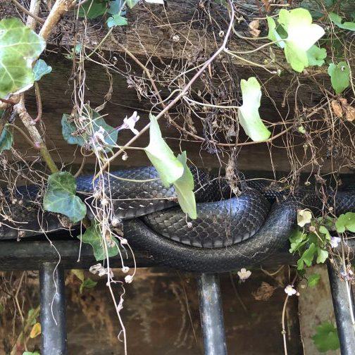 Eastern Rat Snake