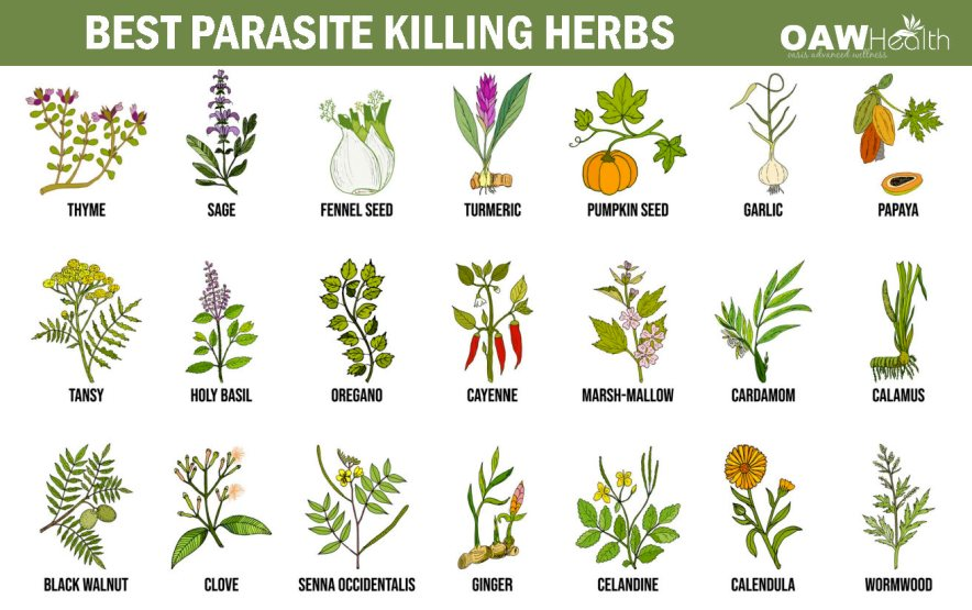 best parasite killing herbs chart