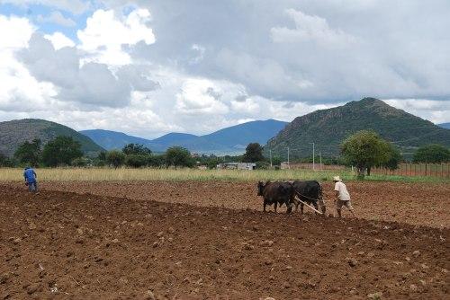 Plowing the milpas to plant corn, squash, beans