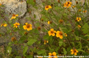 WildMarigolds-2