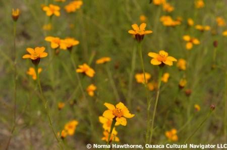 WildMarigolds