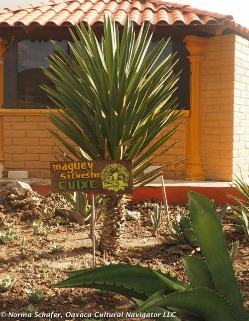 Cuixe wild agave cactus, pronounced Kwee-shay.