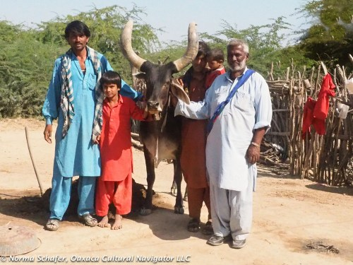 A prized cow with Wandh herders, Bhuj, Gujarat