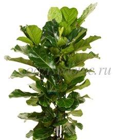 Почему фикус сбрасывает листья Немедленное реагирование
