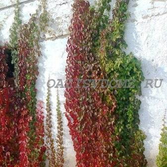 Как сохранить дикий виноград на балконе зимой. Дикий виноград на балконе: выращиваем правильно. Подготовка к зиме