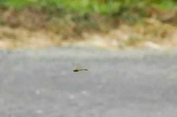 オマケその2。飛んでいるトンボを撮影するのは難しいですねえ。これはアキアカネでしょうか?