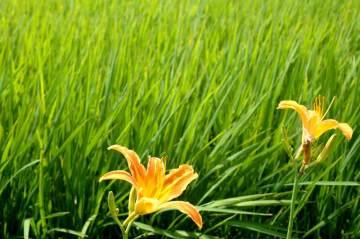 ノカンゾウの花越しに日が射して金色に輝いています。