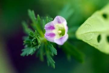 キクモの花