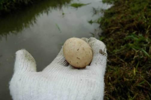 環境保全会の草刈りで見つけたカモのタマゴ ニワトリの卵で言うMサイズくらい?