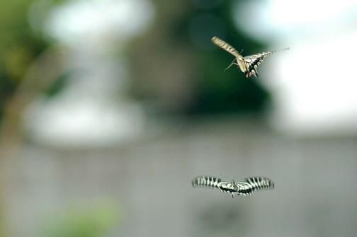 アゲハチョウのダンス