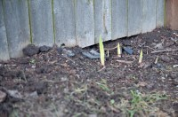 Gladiolas coming up
