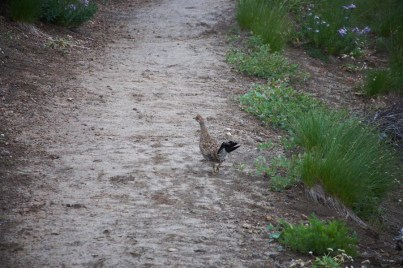 And even a Trail Chicken!