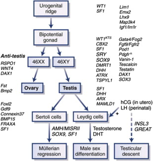atypical prenatal sex differentiation and development in Caloundra