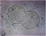 Chapter 13 – Oolemma Binding: Sperm Penetration Assay