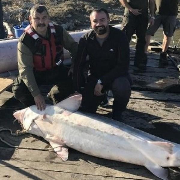 Fetești: Morun de peste 100kg, capturat accidental. Pescarii l-au predat autorităților.