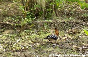 Dudek (Common Hoopoe)