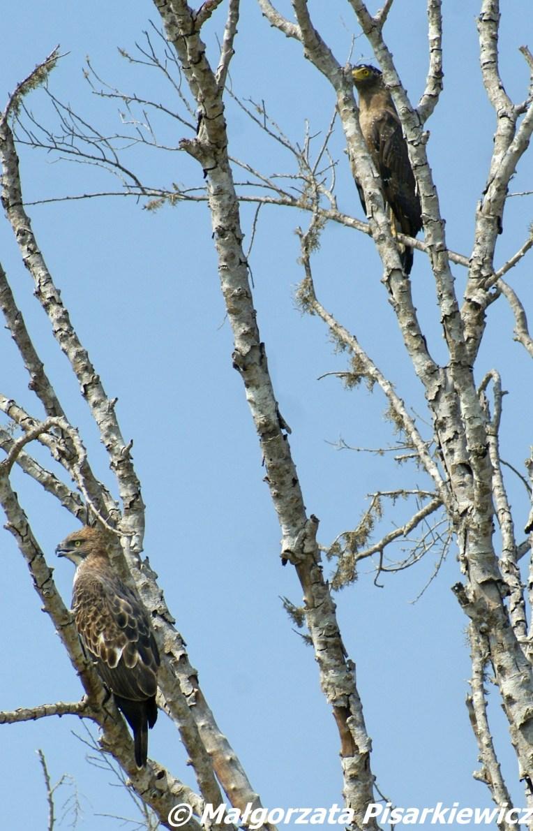 wojownik indyjski i wężojad czubaty (Crested Hawk Eagle & Crested Serpent Eagle)