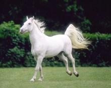 Cheval blanc de Lao Tseu