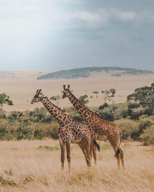 Girafes Kenya