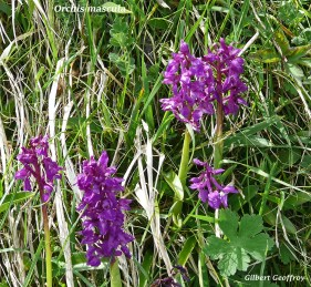 orchis mâle (orchis mascula) (2)