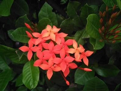 fleur-des-antilles