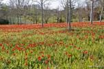 tulipa praecox beyssac (19)_DxO