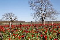 tulipa praecox st brice (12)_DxO