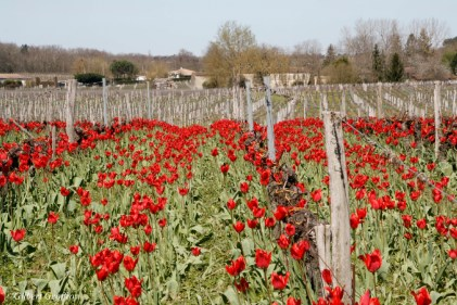 tulipa praecox st brice (31)_DxO