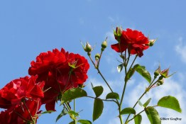 roses boissonat (162)