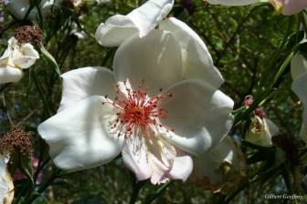 roses boissonat (324)