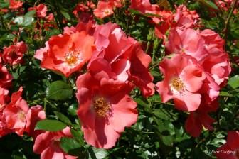 roses boissonat (345)