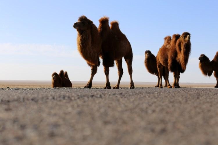 CamelGobi1