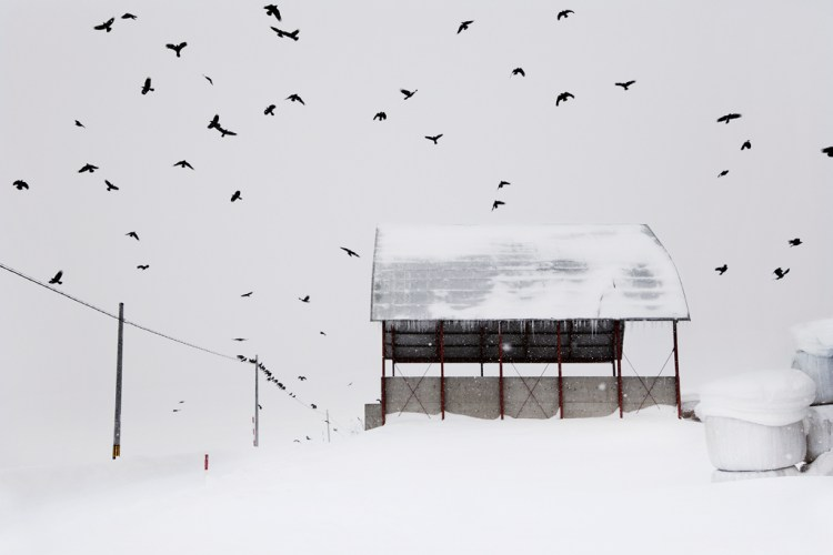 Les corbeaux_HOKKAIDO (Japon)_Christophe Jacrot