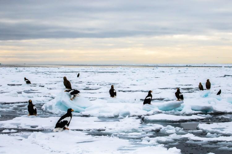 Rausu Hokkaido Japan winter steller sea eagle 14