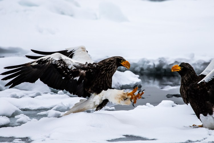 Rausu Hokkaido Japan winter steller sea eagle 3
