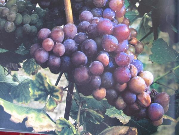 Grozd traminca u iločkom vinogradu (Fotografija Marija Hlače iz knjige Uločki traminac - princ s Principovca)