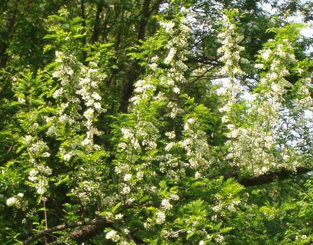Paša za pčele: bagrem u proljeće (Snimila Božica Brkan / Oblizeki)